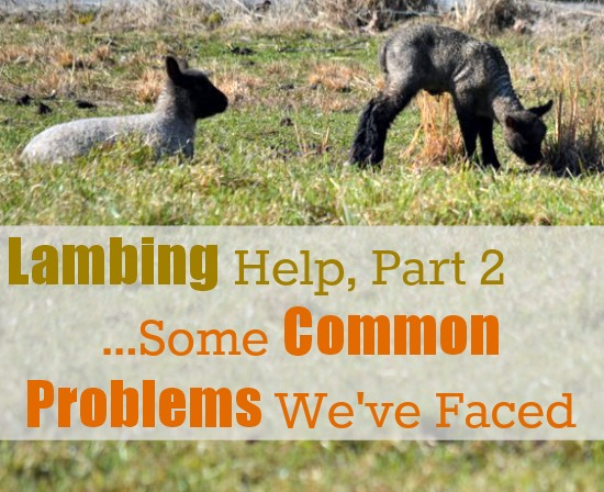 Lambing Help Part 2...Some Common Problems We've Faced {via www.walkinginhighcotton.net}
