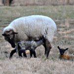 Lambs, Lambs, Lambs…the Daily Farm Adventures {38}
