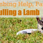 Lambing Help, Part 2…Common Problems {Pulling a Lamb}