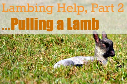 Lambing Help Part 2...Some Common Problems {Pulling a Lamb} via Walking in High Cotton