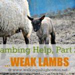 Lambing Help, Part 2…Common Problems {Weak Lambs}