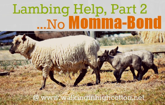 Lambing Help, Part 2...No Momma Bond {at www.walkinginhighcotton.net} Or the story of how we end up with bottle babies! :) #homestead #sheep