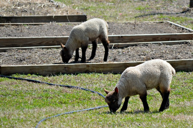 spring lambs 2