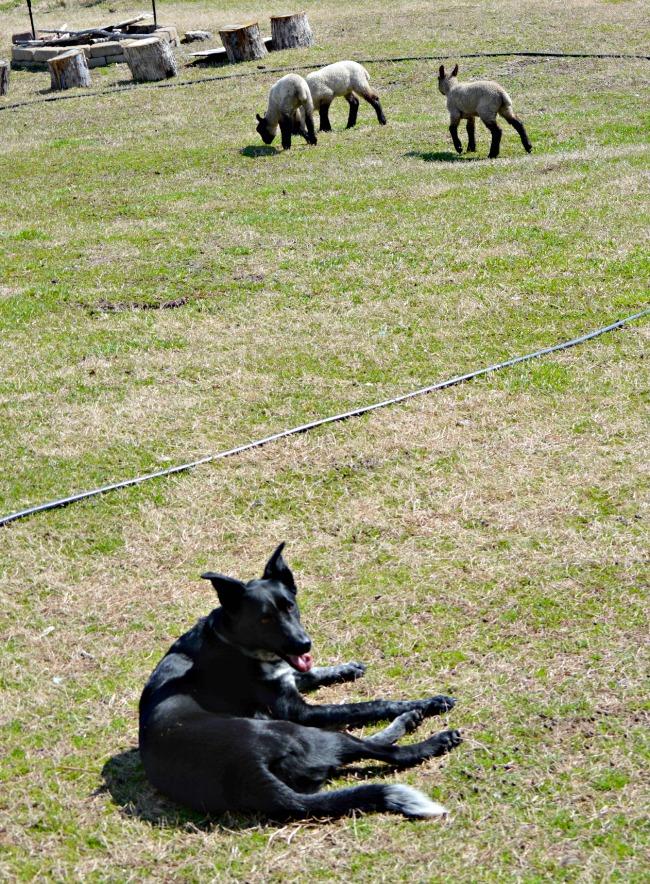 spring lambs 3