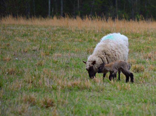 spring lambs e
