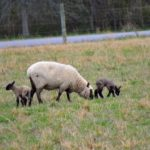 Lambing Season Ends with a Bang…the Daily Farming Adventures {47}