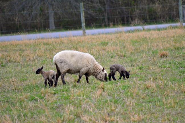 spring lambs d