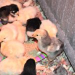Fluffy, Peeping, Houseguests…the Daily Farm Adventures {48}