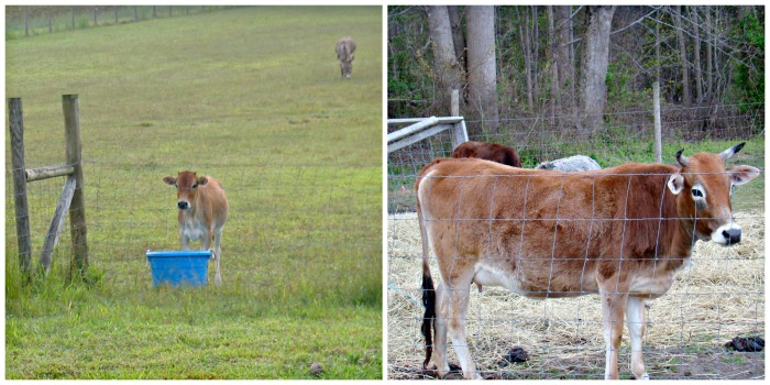 Molly as a heifer in 2007, and then last year in 2013.