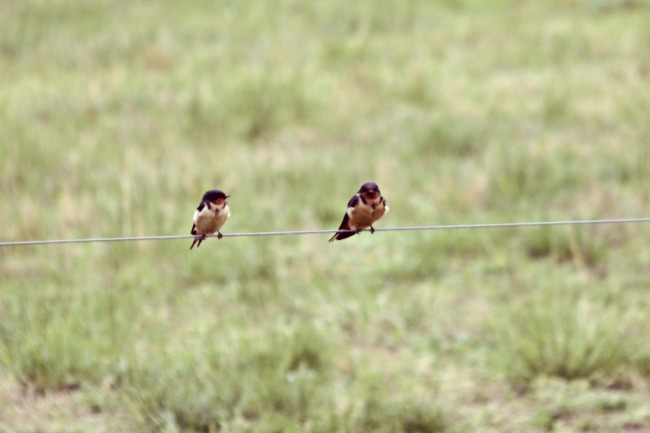 Barn swallows have taken up residence in our feed shed. Again.