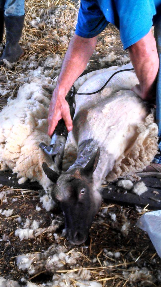 sheep shearing 2014 2
