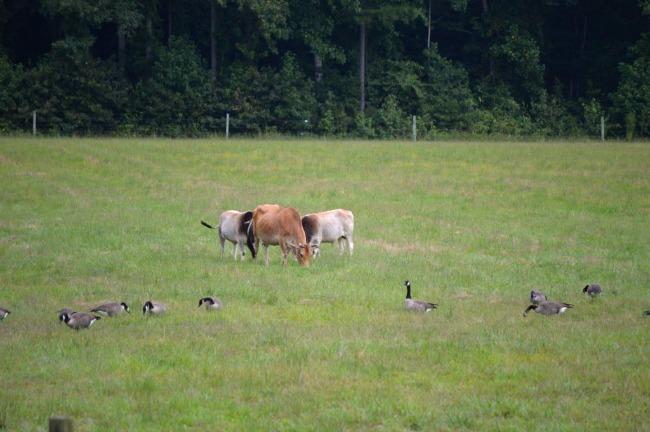 geese in the farmyard 1