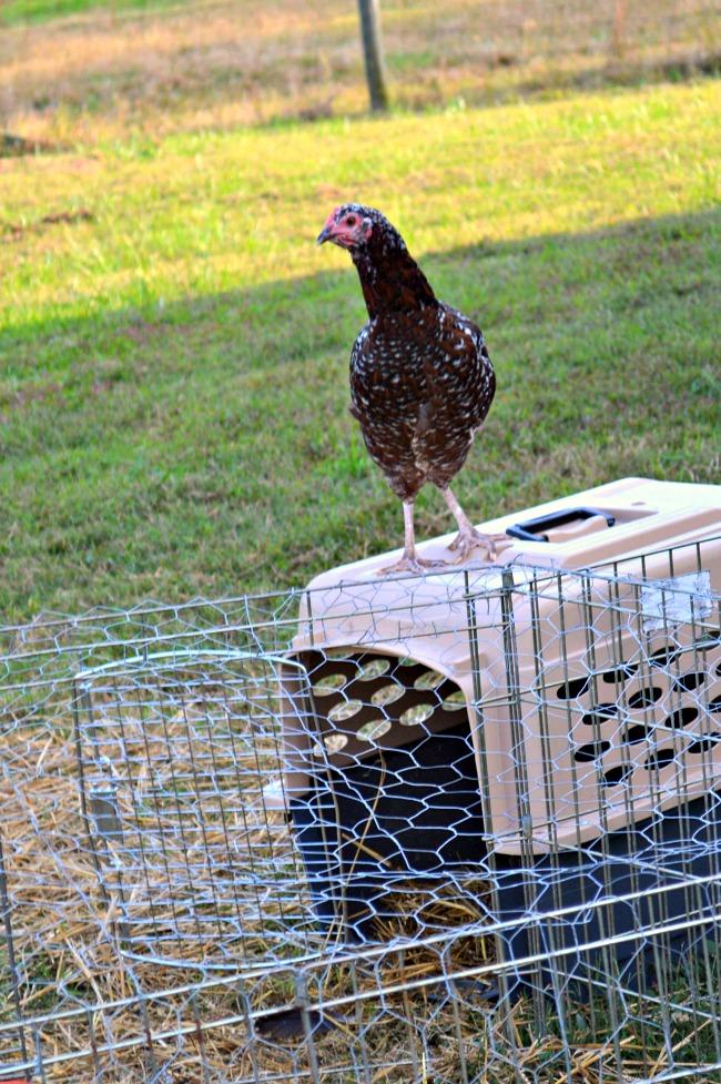 the pixie chicken 4