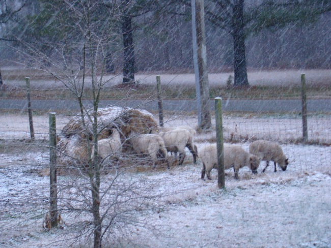 Our sheep don't mind the snow. It just stacks up on their backs like they're walking snow piles.