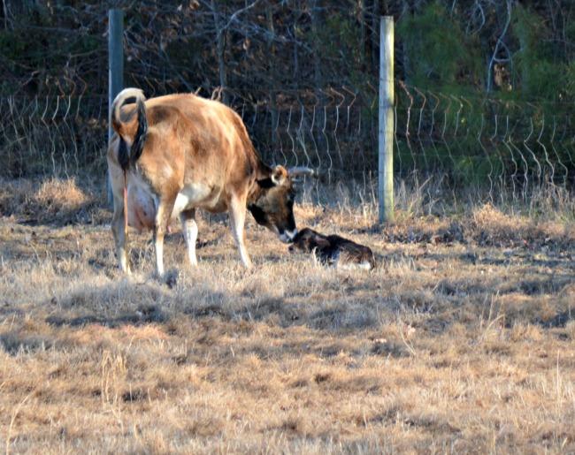 new calf feb 2015