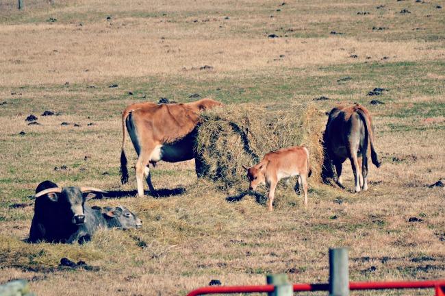 hay feeding - Copy