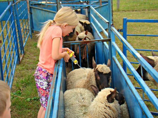 drenching sheep 2