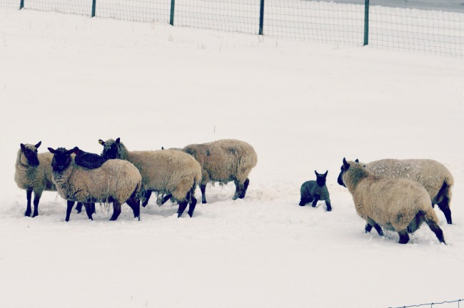 sheep in snow 2015