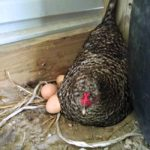 Chickens and Flowers and Fruit…the Daily Farm Adventures {84}