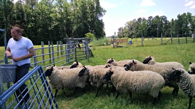 working sheep 01