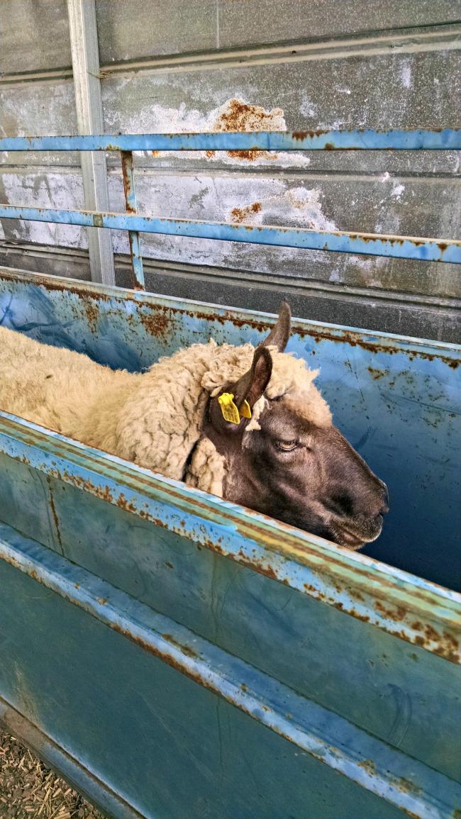 working sheep 04