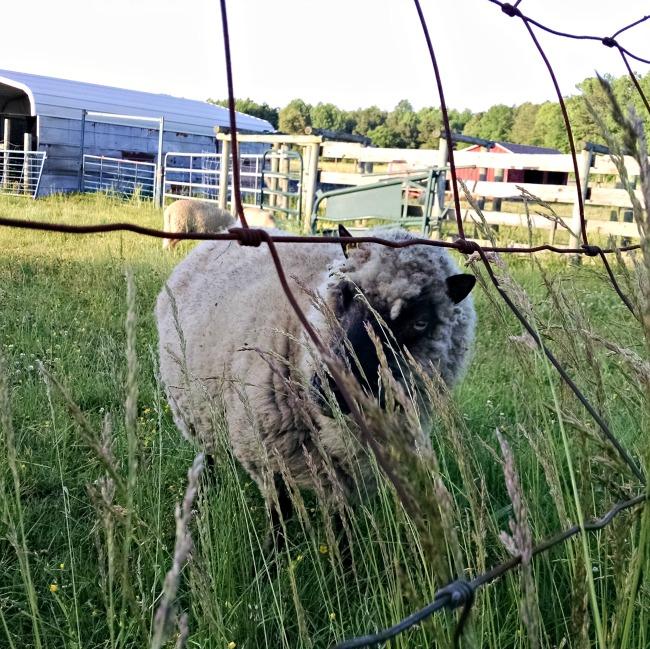 working sheep 09