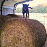 Cattle Dog in the Hay…the Daily Farm Adventures {93}