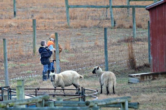 new lambs 2016 02