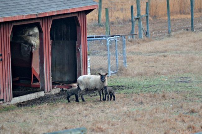 new lambs 2016 03
