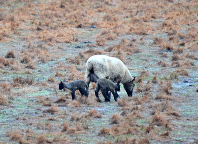 new lambs 2016 05
