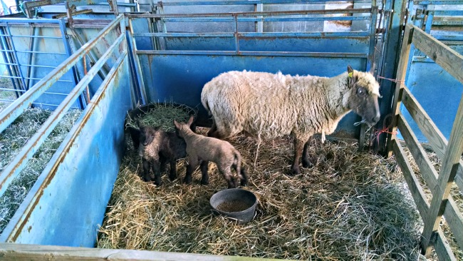 more lambs 03