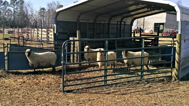 more lambs 06