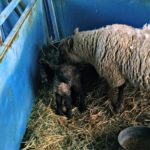 More Lamb Pictures…the Daily Farm Adventures {105}