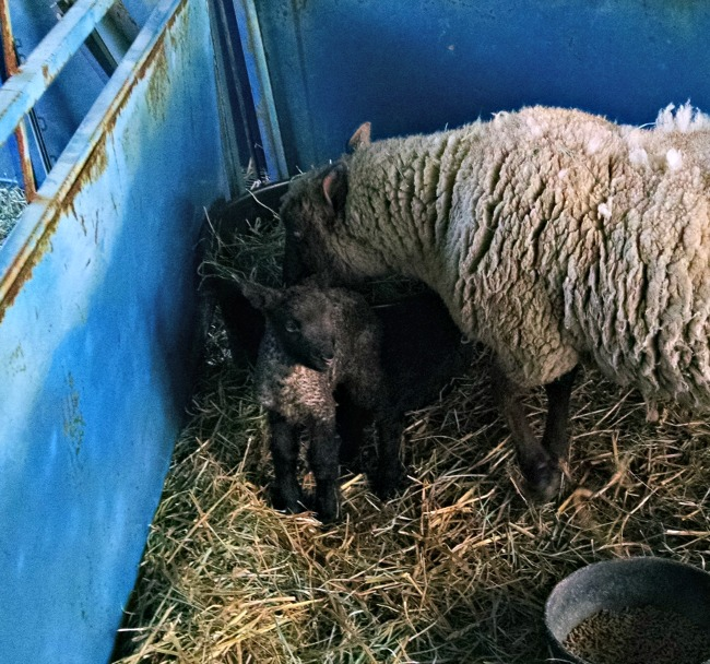 more lambs 02