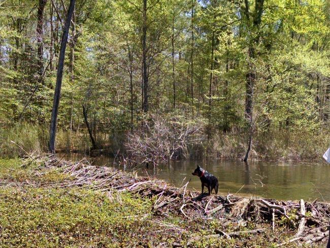 beaver hunting 05