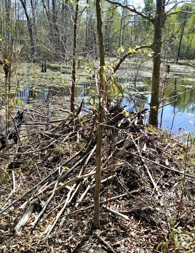 beaver hunting 10