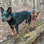 Taking the Pup in the Woods…the Cattle Dog Crew