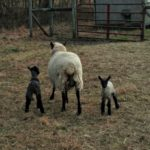 Lambs At Play…the Daily Farm Adventures {121}