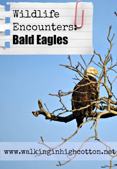 Bald Eagle Encounters and Bald Eagle Study Resources via Walking in High Cotton