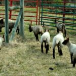 Moving Lambs to New Pastures