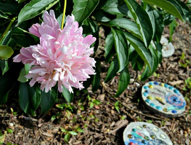 carefree flower garden peony
