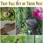 How to Help Baby Birds That Fall Out of Their Nest