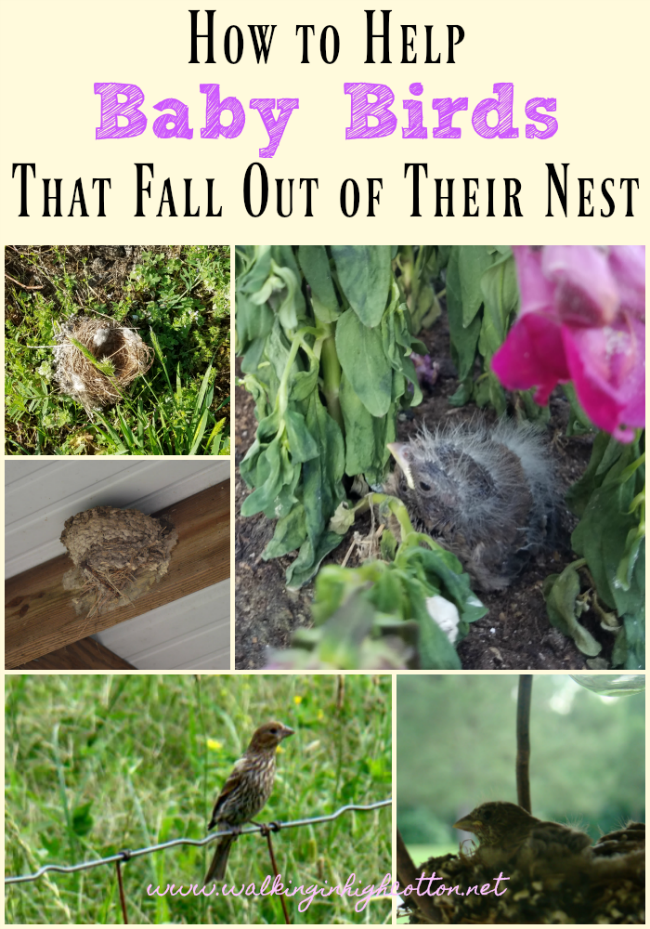 How to help baby birds that fall out of their nest...3 simple steps from Walking in High Cotton